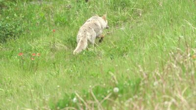 4K Coyote running thru grass stalking its prey - NOT Colour Corrected