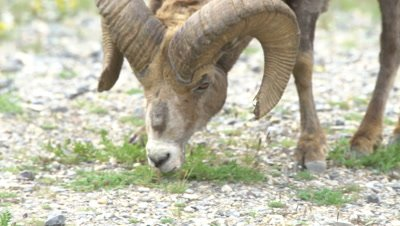 4K Big Horn Sheep Ram walking along river bank grazing, Long Lens, zoom in, Close up - NOT Colour Correction