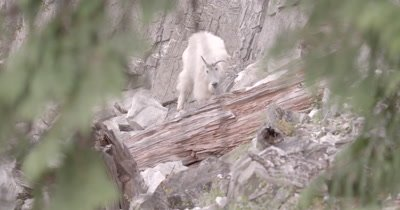 4K Mountain Goat eating minerals thru trees, Exits frame - NOT Colour Corrected