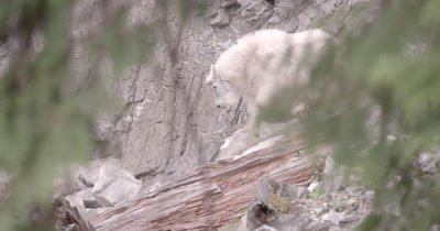 4K Mountain Goat climbs over rocks behind log - NOT Colour Corrected