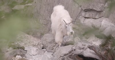 4K Mountain Goat eating/licking minerals then climbs rock face, Exist Frame, Slow Motion - NOT Colour Corrected