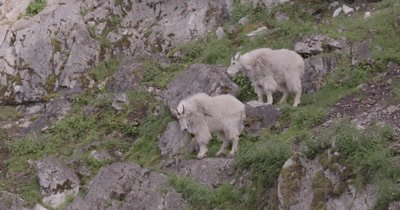 4K Mountain Goats two standing on rock ledge eating, climbing down, Zoom - NOT Colour Corrected