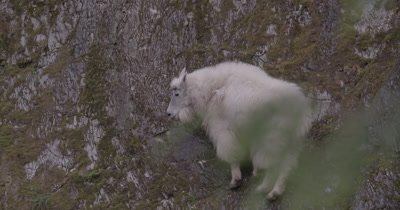 4K Mountain Goat older climbs up rocky hill, exits frame, Slow Motion - NOT Colour Corrected