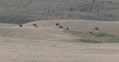 4K Wood Bison walking over grassy hills - NOT Colour Corrected