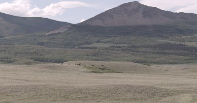 4K Wood Bison walking over grassy hills mountains behind, Extreme wide shot - NOT Colour Corrected