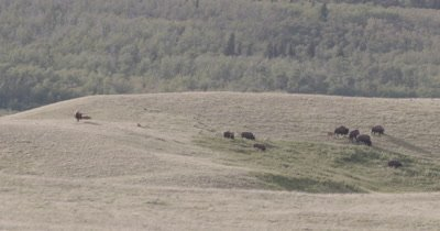 4K Wood Bison walking over grassy hills mountains behind, Zoom in - NOT Colour Corrected