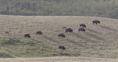 4K Wood Bison walking over grassy hills mountains behind, Black birds at feet, tighter shot - NOT Colour Corrected