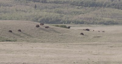 4K Wood Bison walking/grazing over grassy hills mountains and clouds behind, Zoom out extreme wide shot - NOT Colour Corrected
