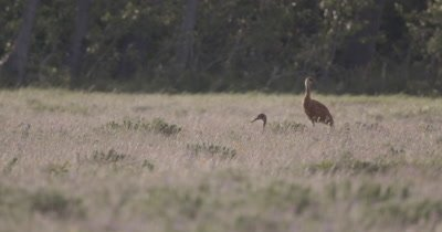 4K Sand Crane Male & Female in tall grass on nest, Windy, Extreme Long Lens - NOT Colour Correctedd