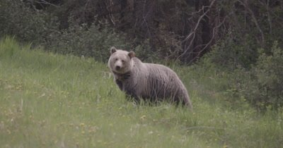 4K Grizzly grazing on grass and dandelions hill side, Trees behind, Slow Motion - NOT Colour Corrected