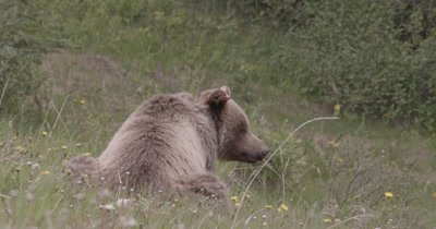 4K Grizzly turns back to camera grazing on grass and dandelions hill side, Zoom, Slow Motion - NOT Colour Corrected