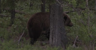 4K Grizzly walks up hill in to forest between trees, Slow Motion - NOT Colour Corrected