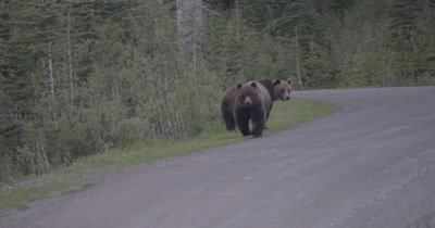 4K Grizzly Bear Female walks towards camera on FSR, Slow Motion - NOT Colour Corrected