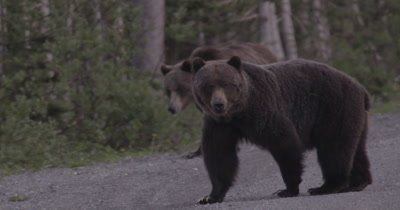 4K Grizzly Bear female stops short of the camera, Male comes up behind, Slow Motion - NOT Colour Corrected