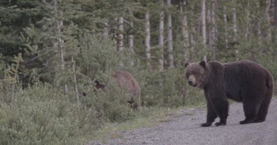 4K Grizzly Bear Female turns away, Male walks in to forest, Slow Motion - NOT Colour Corrected