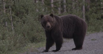 4K Grizzly Bear Female stares at camera - NOT Colour Corrected