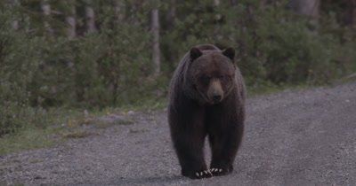 4K Grizzly Bear Female stares at camera, walks off camera, Slow Motion - NOT Colour Corrected
