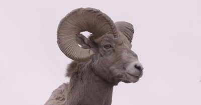 4K Big Horn Ram standing on rock looking in to camera, Hand Held - NOT Colour Corrected