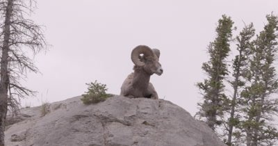 4K Big Horn Ram standing on rock looking in to camera, Hand Held, Zoom out - NOT Colour Corrected