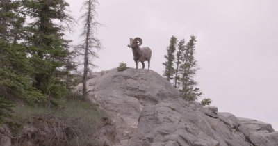 4K Big Horn Ram standing on rock looking in to camera, Hand Held, Wider Shot - NOT Colour Corrected