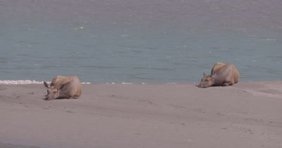4K Elk two females lying on sand bank of river in sun, Zoom wide - NOT Colour Corrected