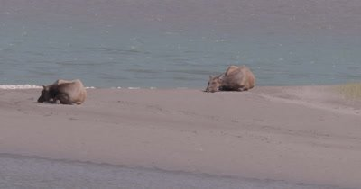 4K Elk two females lying on sand bank of river in sun, Extreme Wide, Zoom in - NOT Colour Corrected