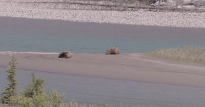 4K Elk two females lying on sand bank of river in sun, Zoom out extreme wide - NOT Colour Corrected