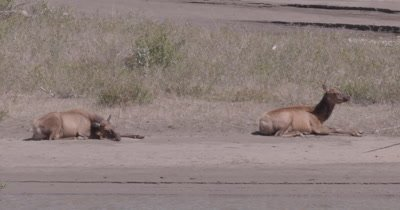 4K Elk two females lying on sand bank chewing - NOT Colour Corrected