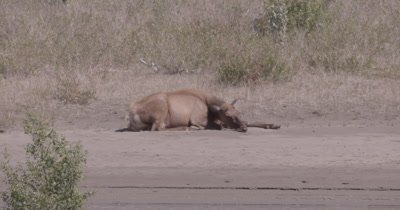 4K Elk female lying on sand bank stretching, Slow Motion - NOT Colour Corrected