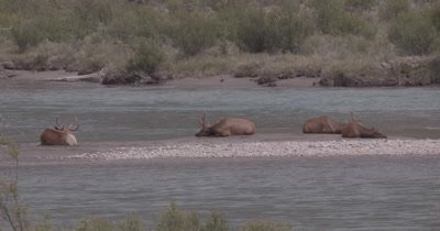 4K Elk three males, one female on sand barge in river - NOT Colour Corrected