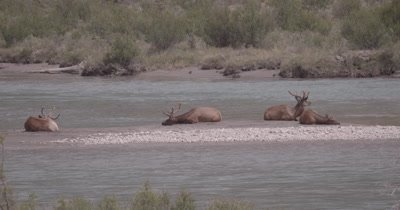 4K Elk three males, one female on sand barge in river, Slow Motion - NOT Colour Corrected