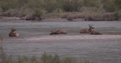 4K Elk three males, one female on sand barge in river, Slow Motion, zoom out to extreme wide - NOT Colour Corrected