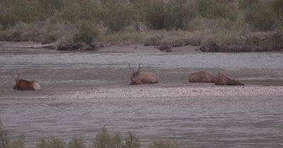 4K Elk three males, one female on sand barge in river, Slow Motion, fast zoom out to extreme wide - NOT Colour Corrected