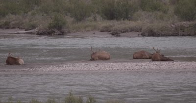 4K Elk three males, one female on sand barge in river, Slow Motion, fast zoom in - NOT Colour Corrected