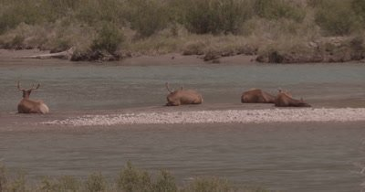 4K Elk three males, one female on sand barge in river, Slow Motion, flock of Canadian Geese cross in the back ground - NOT Colour Corrected