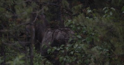 4K Moose walking behind trees partially hidden before sun rise - NOT Colour Corrected