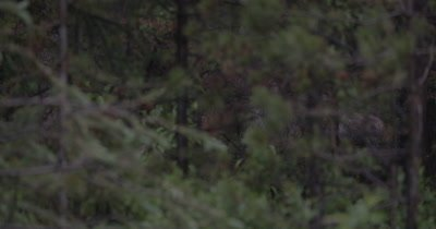 4K Moose standing in trees partially hidden before sun rise - NOT Colour Corrected
