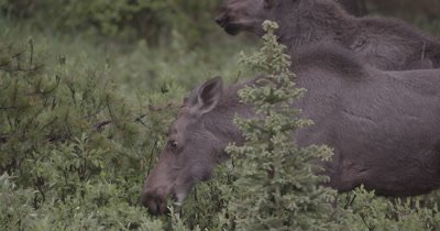 4K Moose male and female grazing in meadow early morning, focus pull, Slow Motion - NOT Colour Corrected