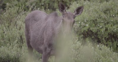 4K Moose female looking in to lens in meadow early morning, close up zoom out - NOT Colour Corrected