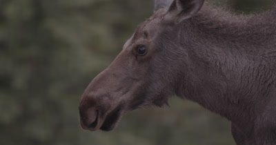 4K Moose female walking in meadow early morning, close up, focus pull - NOT Colour Corrected