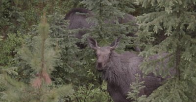 4K Moose female and male walking thru trees early morning - NOT Colour Corrected