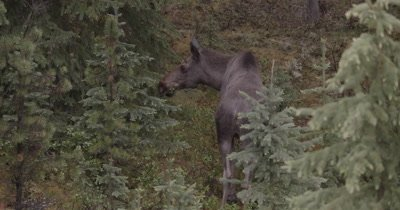 4K Moose female and male walking thru trees grazing early morning, pan back and forth - NOT Colour Corrected