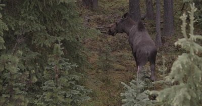 4K Moose walking thru trees early morning and exits frame - NOT Colour Corrected