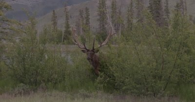 4K Elk Male/Buck full rack (8 point) Crashing through bush towards camera, Slow Motion - NOT Colour Corrected
