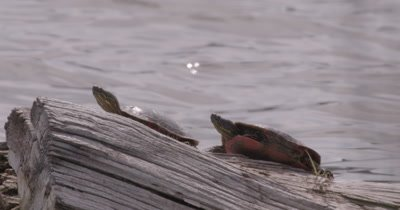 4K two Painted Turtles on log in lake Close up Steadier- NO Colour Correction