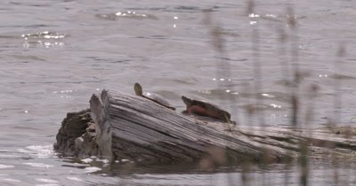 4K two Painted Turtles on log in lake Reeds in foreground medium shot - NO Colour Correction