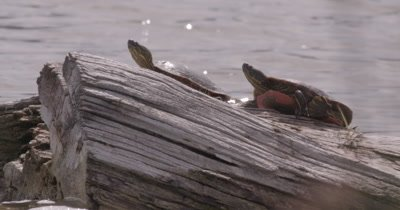 4K two Painted Turtles on log in lake one turtle kicks legs tight shot - NO Colour Correction
