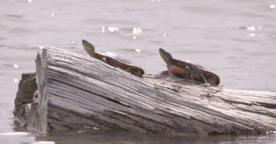 4K two Painted Turtles on log in lake Tight shot - NO Colour Correction