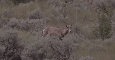 4K Big Horn Sheep walking thru sage bush - NOT Colour Corrected