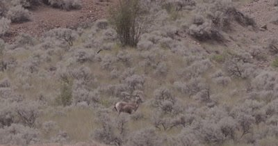 4K Big Horn Sheep standing in sage bush bottom of hill, wider shot - NOT Colour Corrected